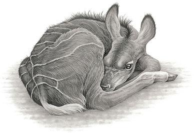 Greater Kudu Calf.jpg
