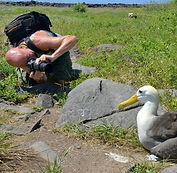 Photographing waved albatross