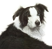 Border collie drawing by Gary Hodges