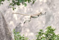 Grey Langur leaping
