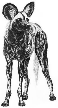 Painted wolf no keyline_web.jpg