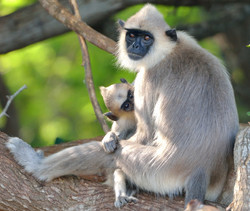 Grey Langur with baby
