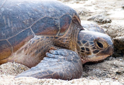 Green Turtle after laying by Dave Currey
