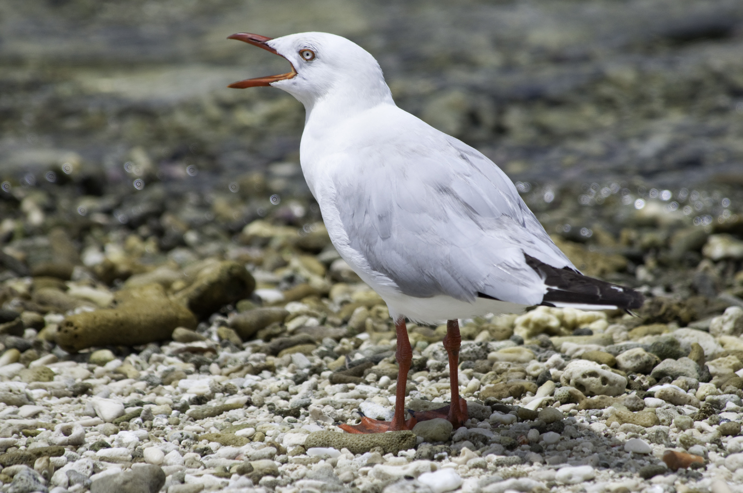 Silver Gull by Dave Currey
