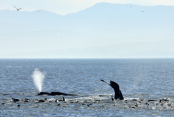 Humpback whales and California sealions by Dave Currey