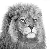 Lion drawing by Gary Hodges