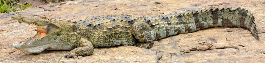 Marsh Crocodile