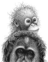 Orangutans drawing by Gary Hodges