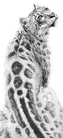 Snow leopard drawing by Gary Hodges