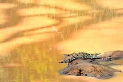 Baby Marsh Crocodile