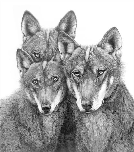 Iberian wolves drawing on contacts page