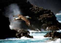 Waved albatross flying by Dave Currey
