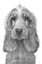 Spaniel drawing by Gary Hodges