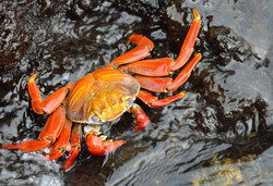 Sally lightfoot crab by Dave Currey