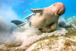Dugong shaking off remoras by Dave Currey