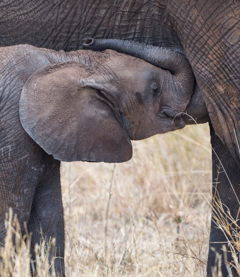 Suckling elephant
