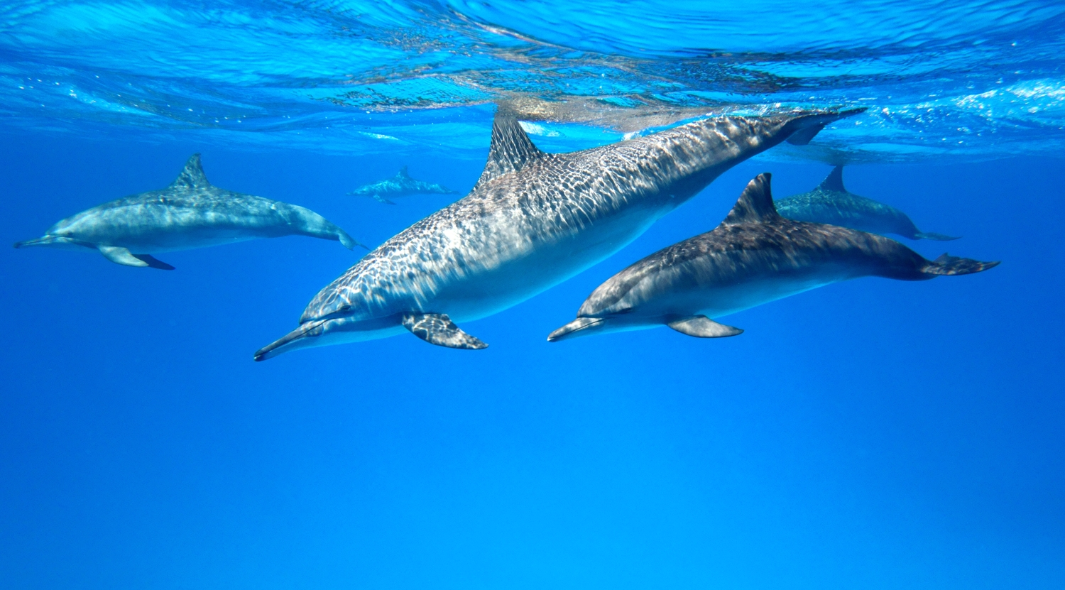 Spinner dolphins by Dave Currey