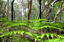 Ferns in gum forest by Dave Currey