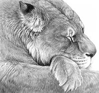 Lioness drawing by Gary Hodges