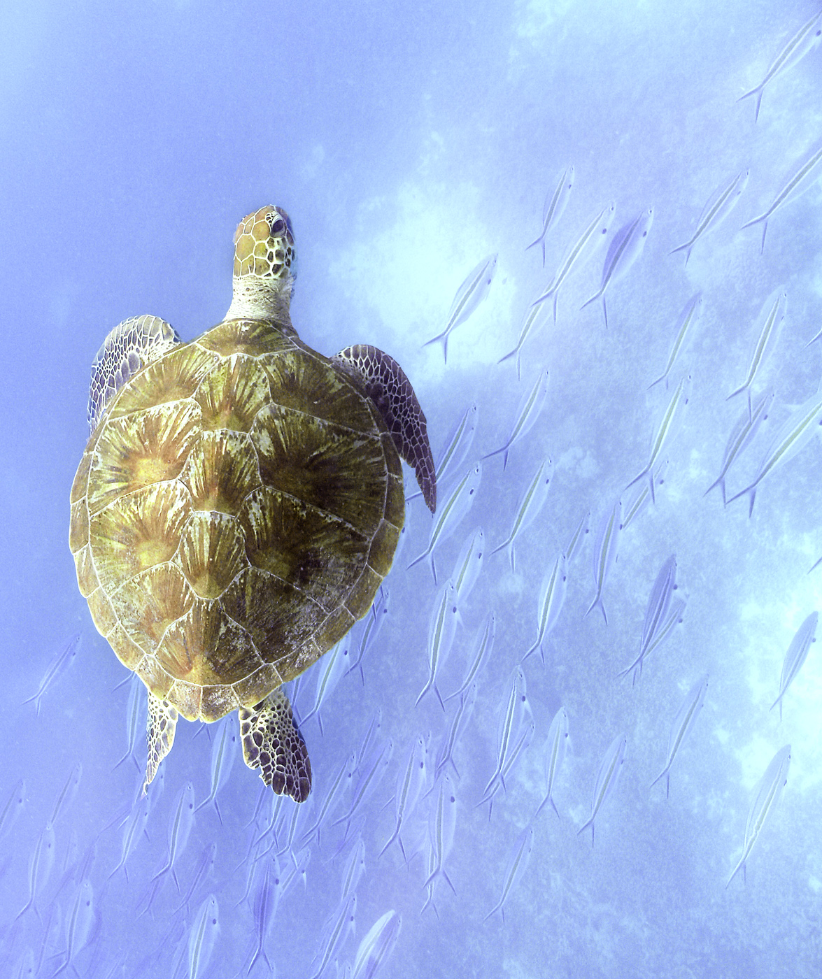 Green turtle with fish by Dave Currey