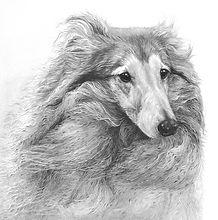 Shetland sheepdog drawing by Gary Hodges