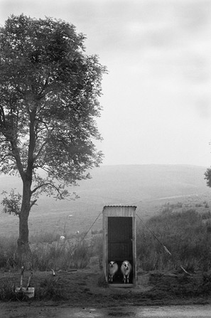 Sheep sheltering on the Epynt, 1973