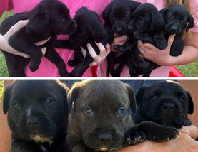 Kin T and Black Lab pups.png