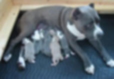 PIt with puppies