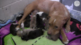 pit bull with puppies.jpg