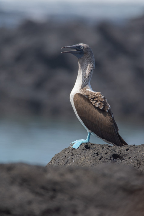 Blue Footed Booby, Santa Cruz, Galapagos Islands