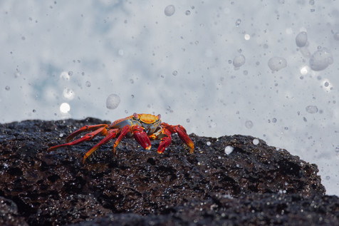 Sally Lightfoot Crab, Santa Cruz, Galapagos Islands