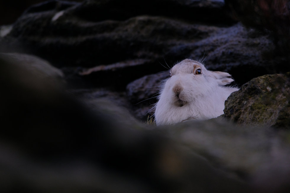 A Mountain Hare in winter coat hides in the peak district national park in winter.