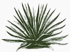 Fourcroya Lindeni, reproduced in El Zulia Ilustrado, no. 27, February 28, 1891