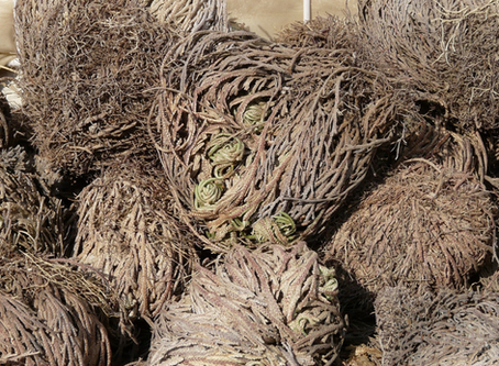 Rose of Jericho (What is it)