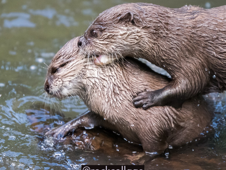 Otter Meaning
