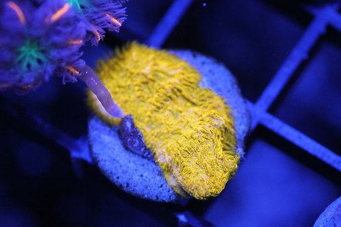 yellow psamacorra