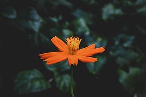 close-up-photo-of-orange-flower-1475870.