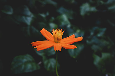 close-up-photo-of-orange-flower-1475870.