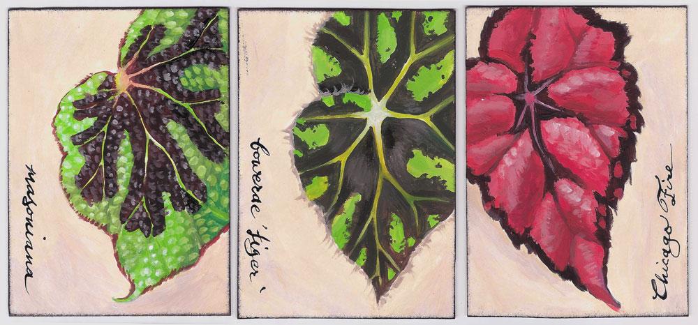 Begonias