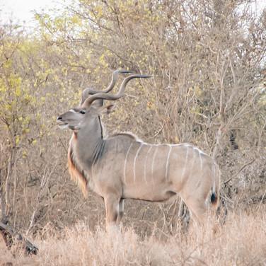 Kudu, väga levinud, kuid arglik ja kiire loom