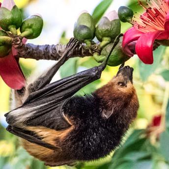 Fruit Bat