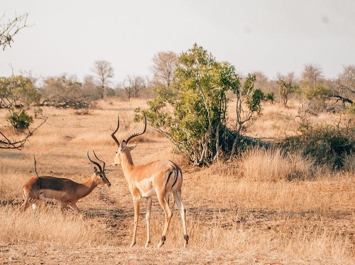 Teekond savanni tekkidess mähituna
