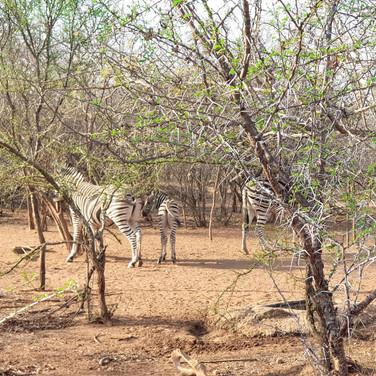 Lodge tagant läheb rattarada kus kohtasin metssigasid, zebrasid, iguaani ja palju erinevaid linde