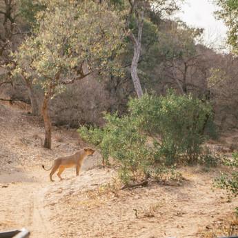 Emalõvi ajamas põõsastelt oma karja jälgi