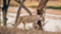 Lõvi jalutas rahulikult jõe kaldani jooma