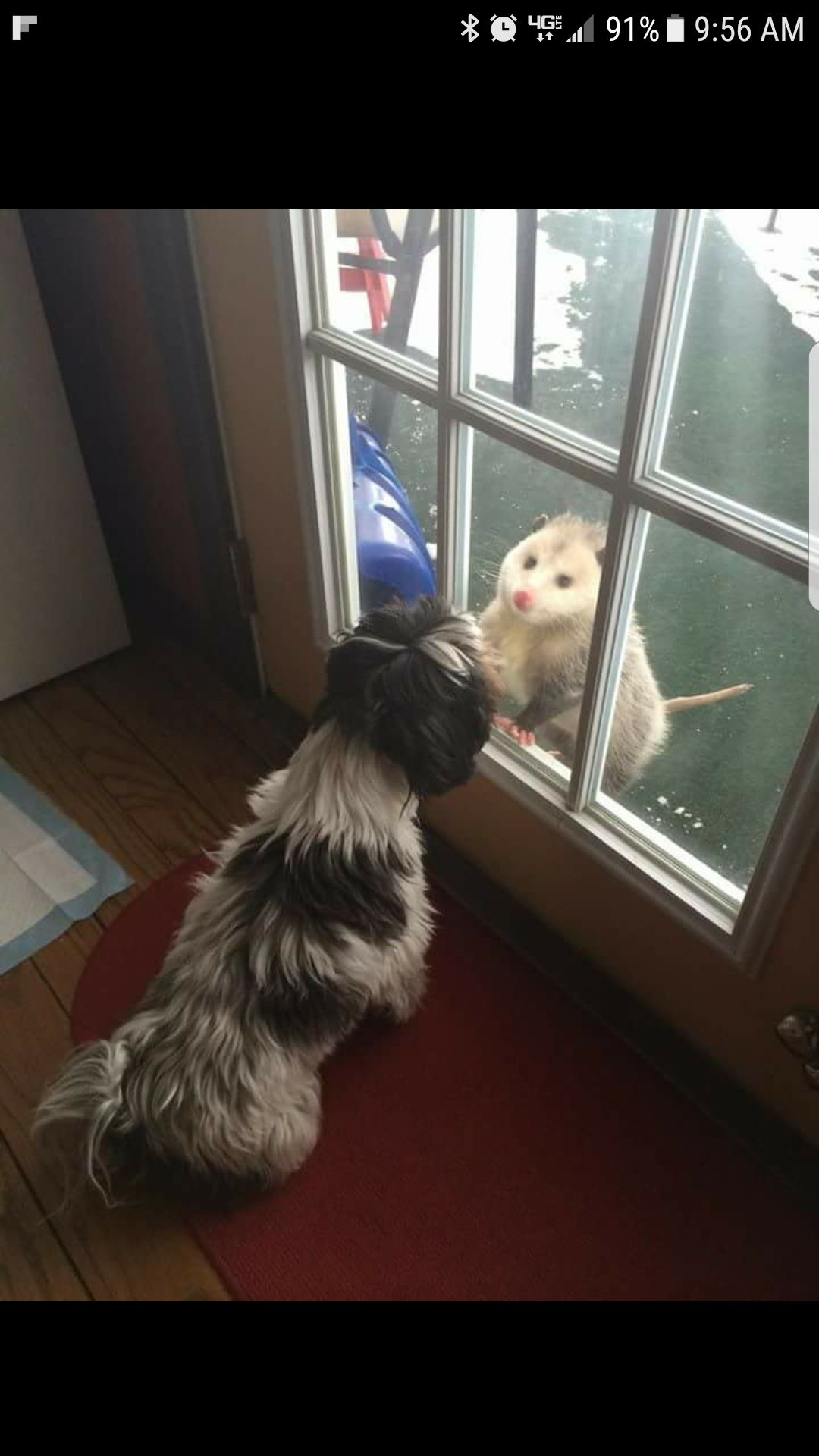 Sophie greeting an opossum visitor
