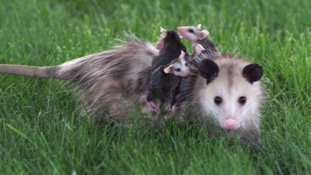 Mother opossum and her babies