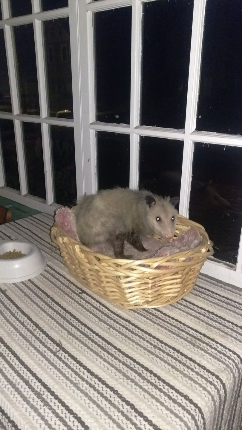 A comfy opossum enjoying hospitality