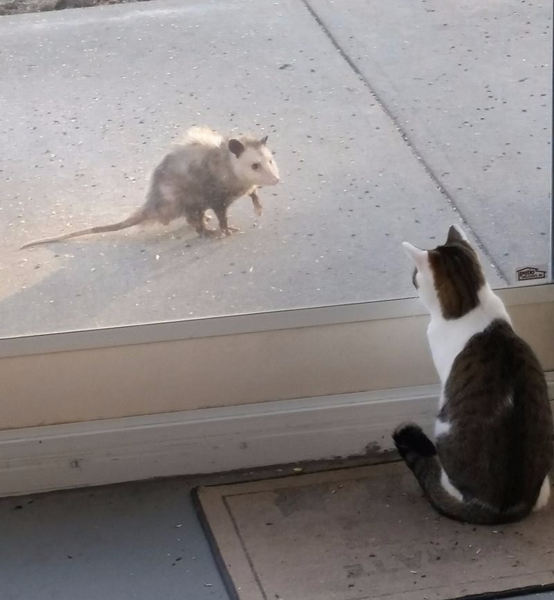 Mabel the cat & an opossum visitor