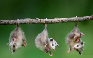 ...Opossums Are Beneficial & Building a Fan Base on Facebook